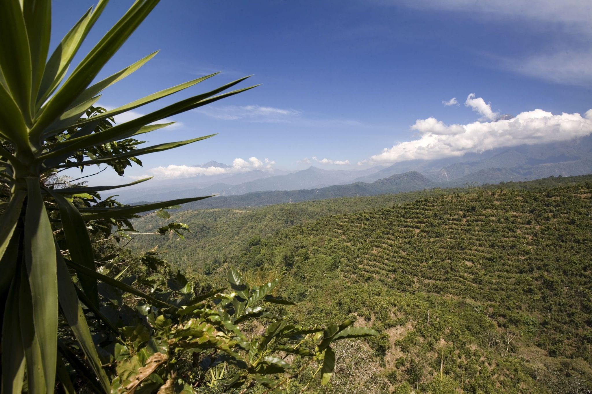 View of coffee fields in San Marcos, Guatemala.