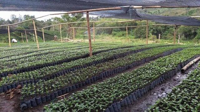 Viveo de cafe en colombia