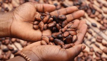 ¿Cuál Es La Diferencia Entre Cacao Y Cocoa?
