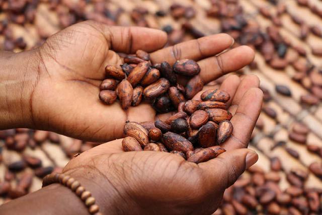 productor y granos de cacao