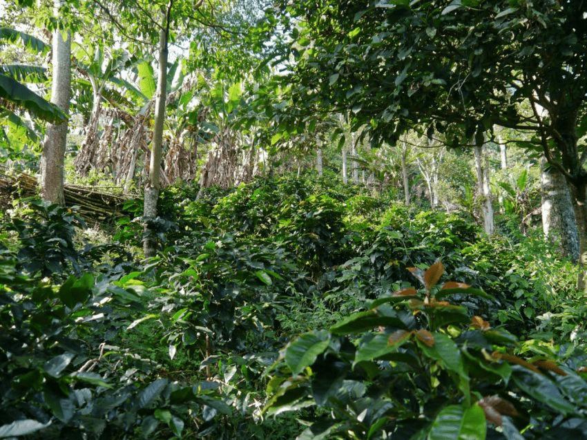 cafetales crecen bajo arboles de sombra
