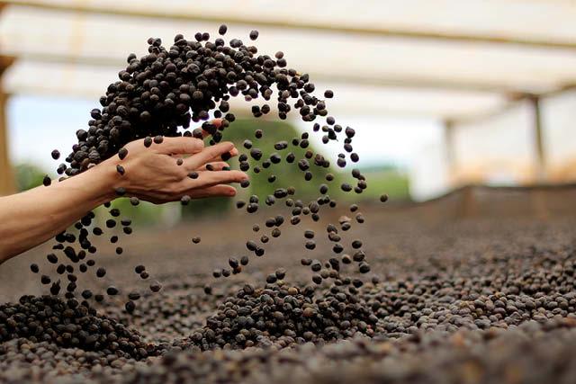 cerezas de cafe natural en camas de secado