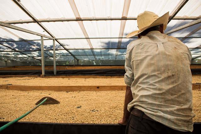 productor seca su cafe en camas elevadas