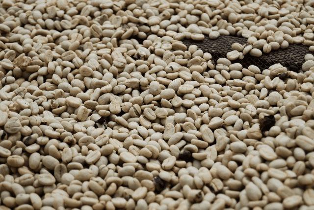 granos de cafe listos para trillar