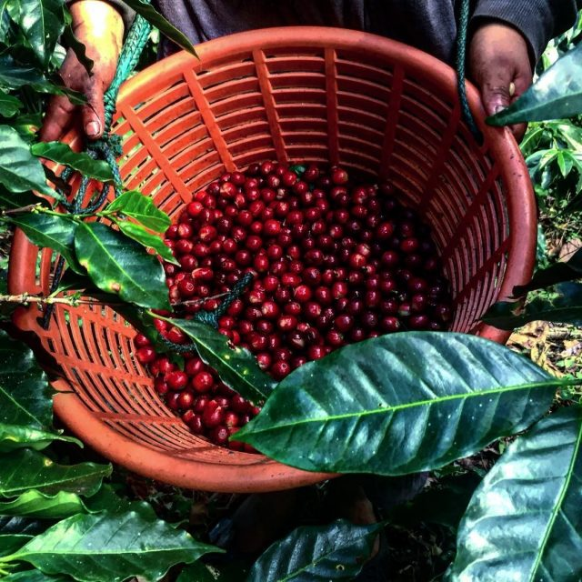 cerezas recolectadas por trabajado de cafe