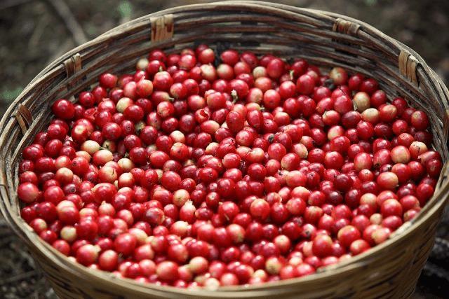 canasta de cerezas de cafe