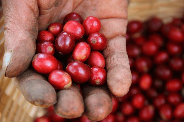 un grupo de cerezas en la mano de un recolector