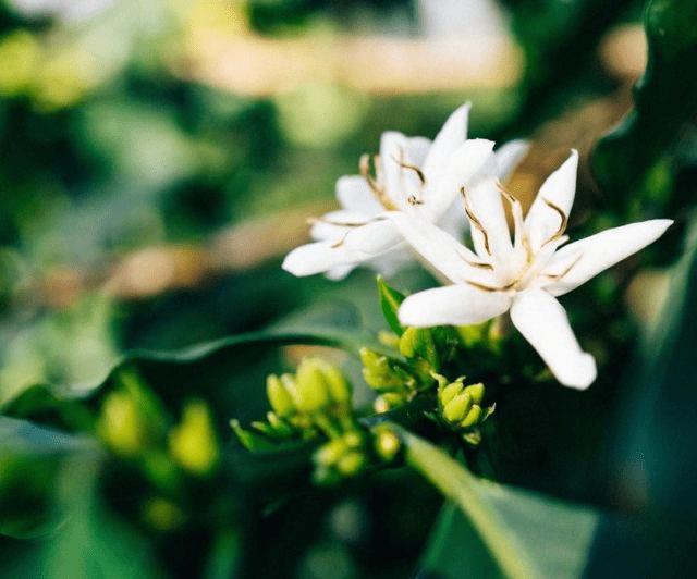 una flor de cafe es sinonimo de una gran cosecha