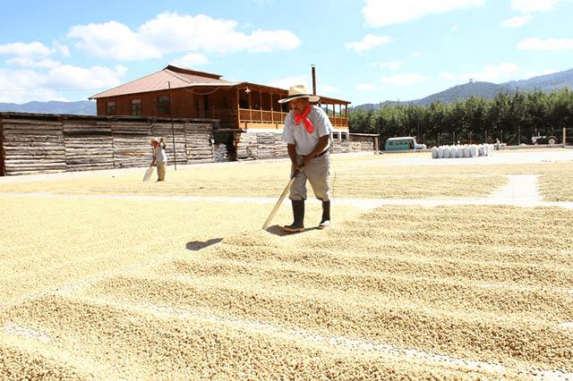 productor mueve los granos de cafe para un mejor secado