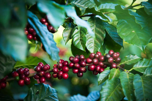 ripe coffee cherries on tree