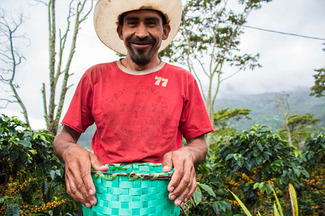 coffee farm worker picking cherries