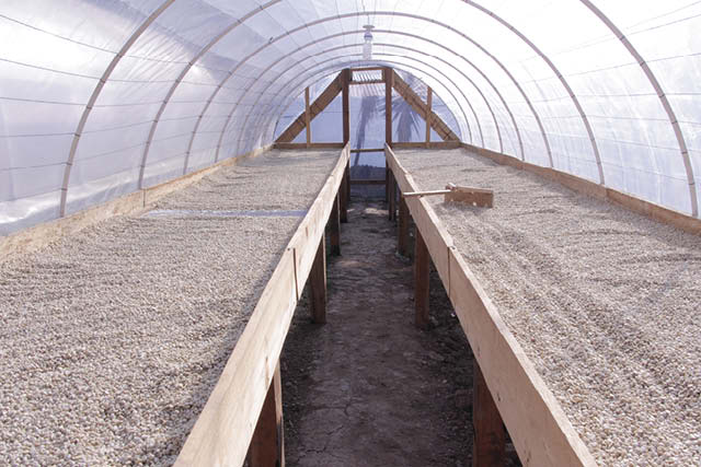 coffee drying in raised beds