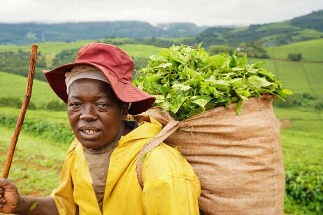 tea picker in plantation