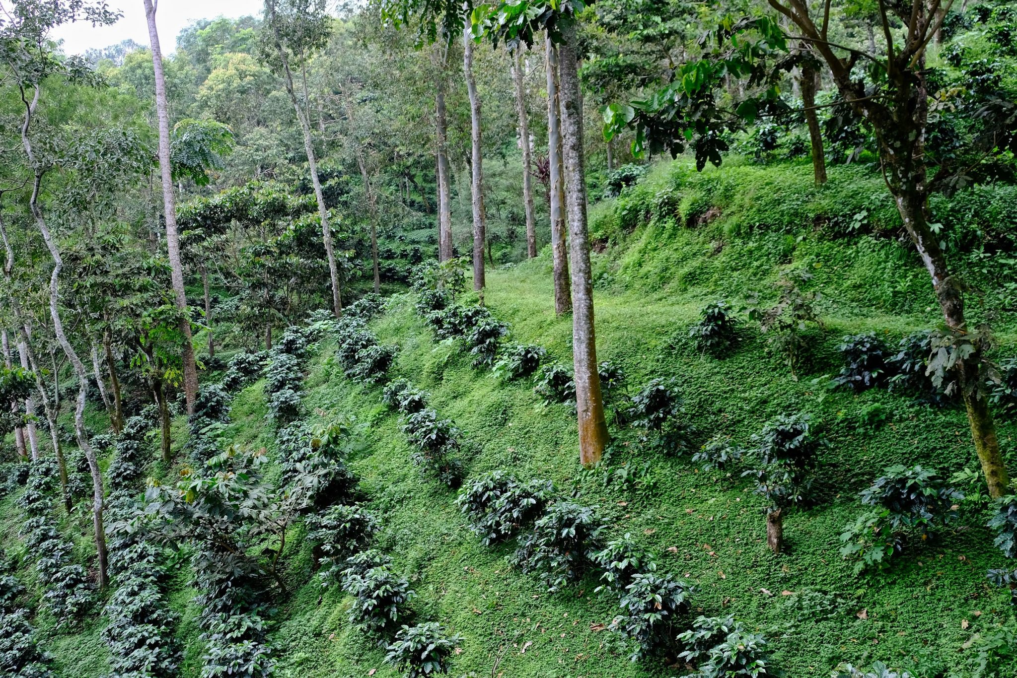 young coffee trees grow in rows on a mountain