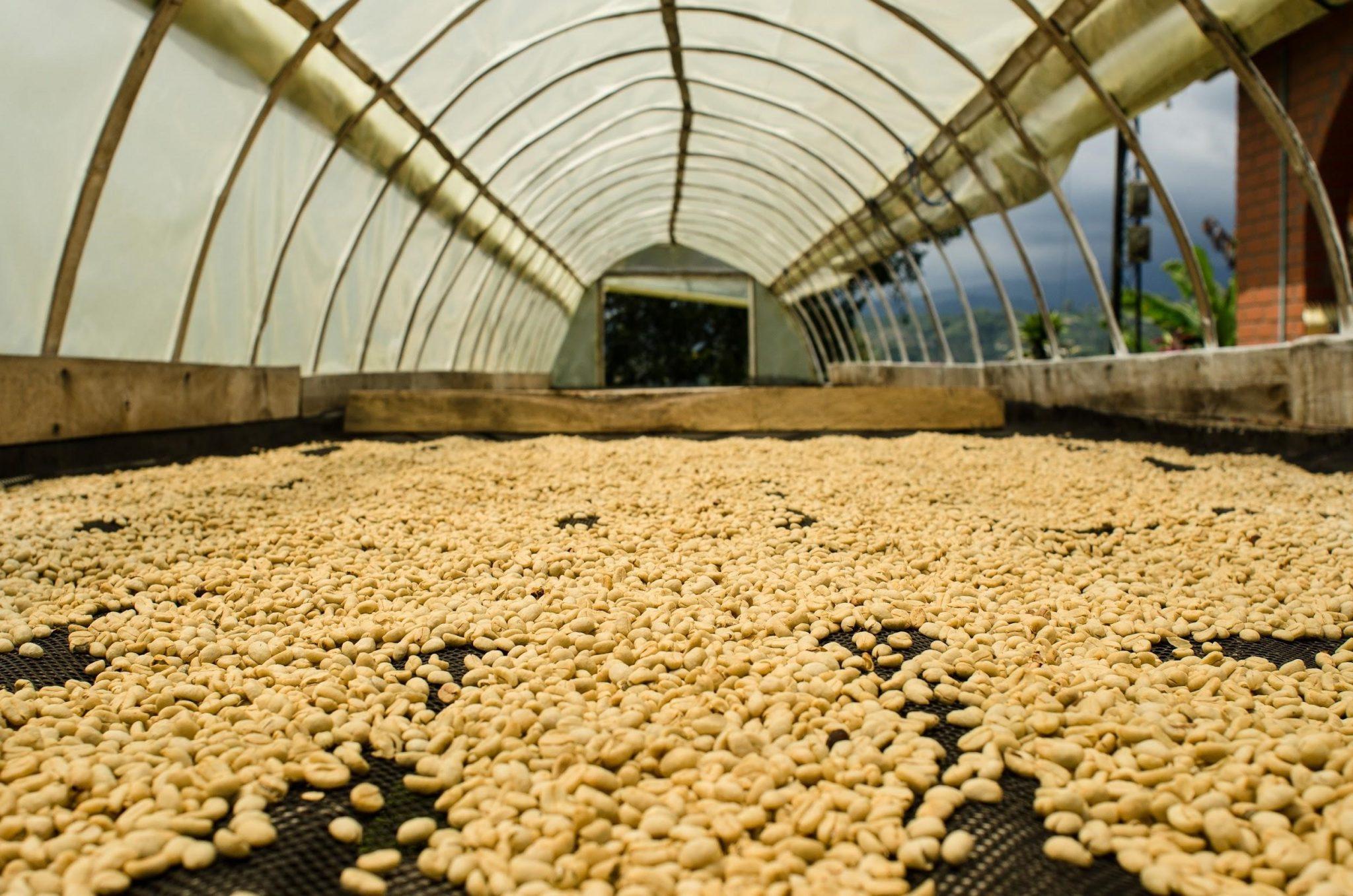 cafe pergamino en camas elevadas secandose