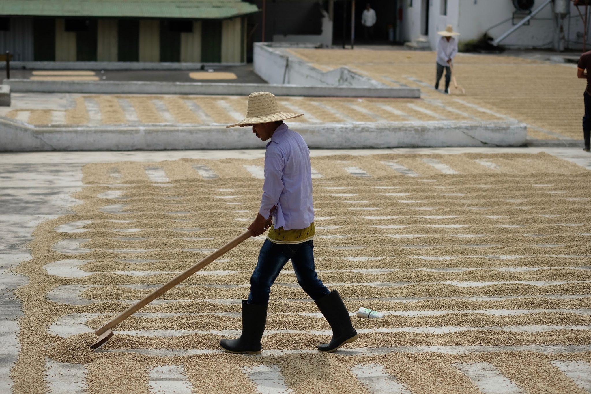 a coffee farmer rakes drying coffee on a patio