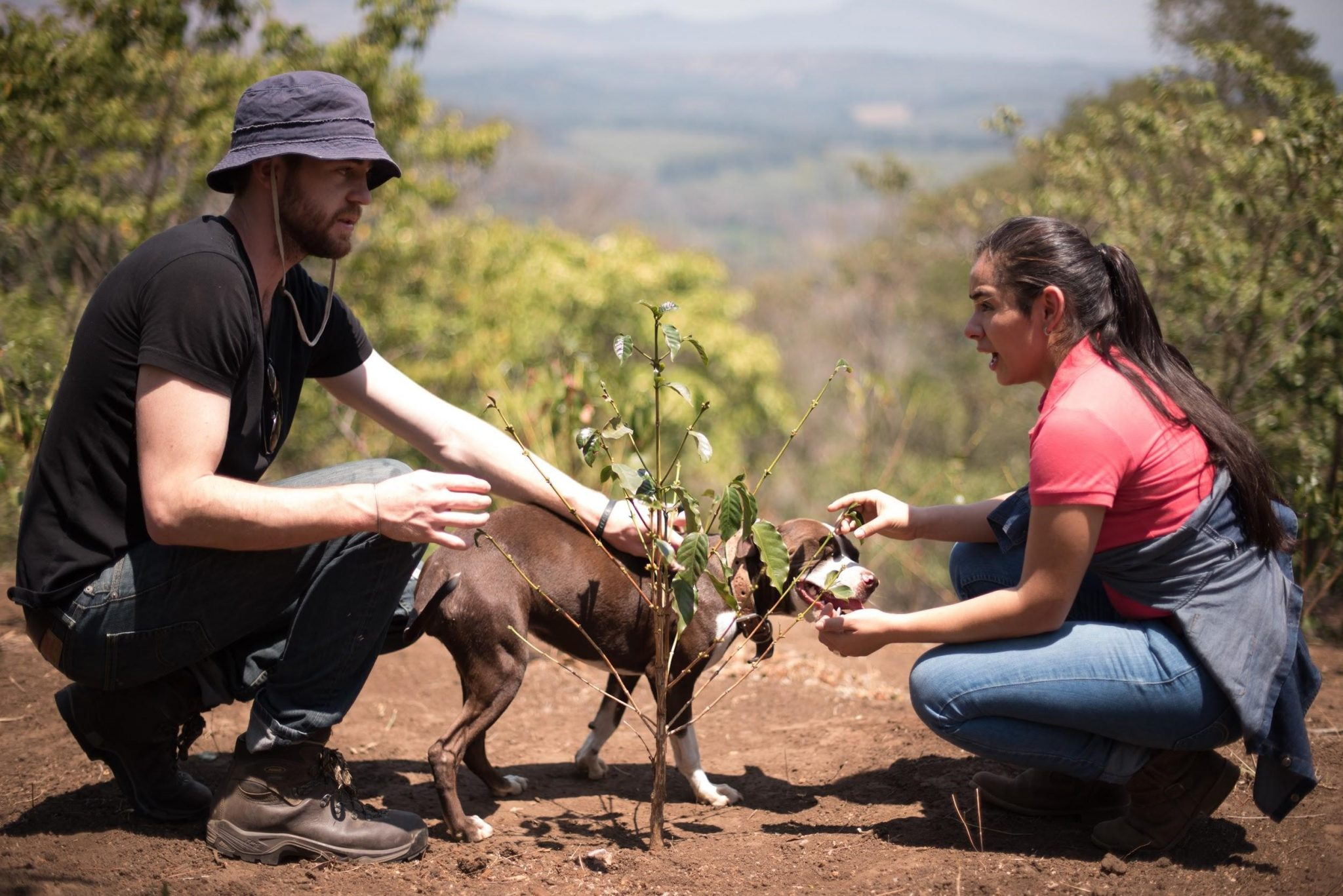 plantando un arbol de cafe