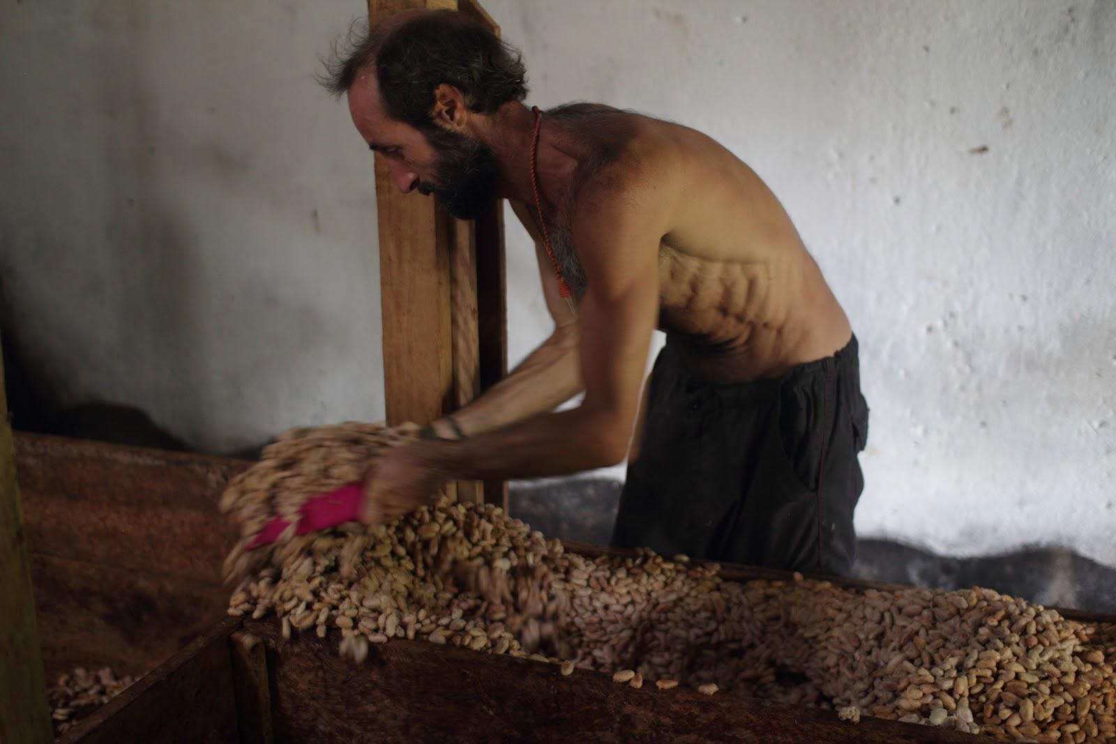 un cacaotero pone a fermentar granos de cacao