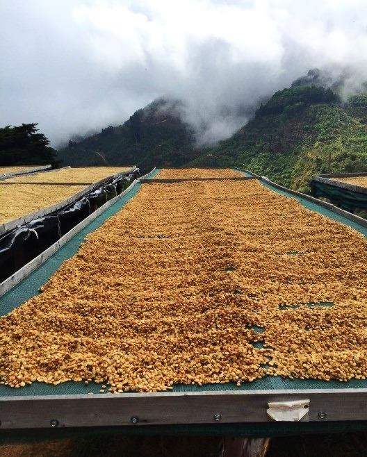 un cafe de proceso honey se seca en una cama africana