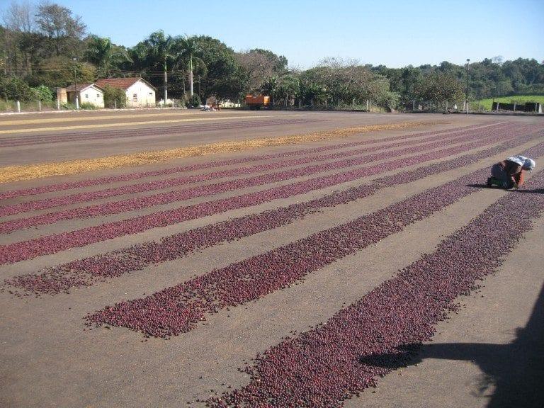 varias filas de cafe secandose en un patio