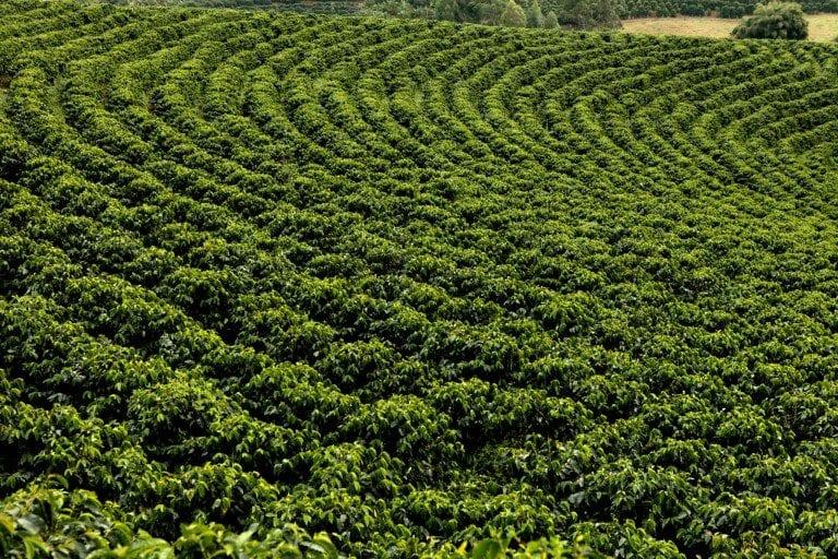 Varios arboles de cafe en una finca en brasil