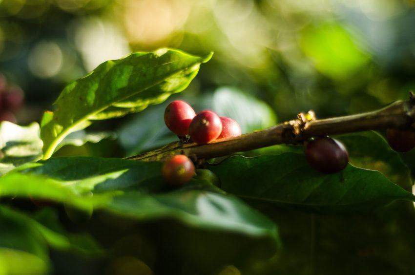 varias cerezas de cafe en una rama lista para recolectar