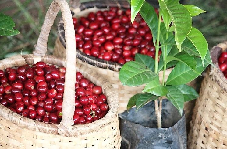 cerezas de cafe recien recolectadas de un hermosa finca