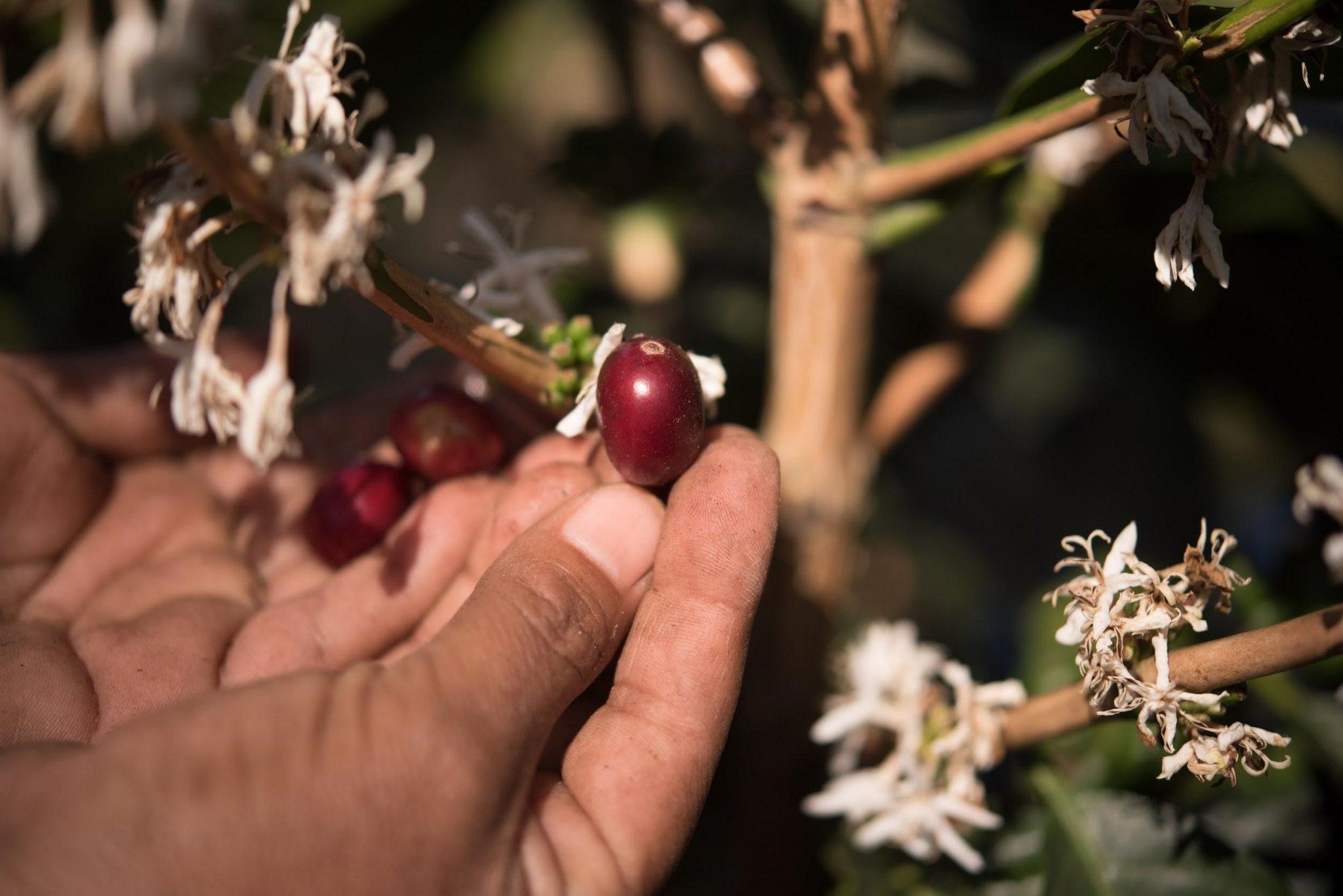 recogiendo cerezas maduras de cafe
