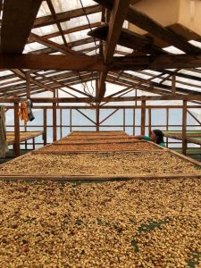 honey processed coffee drying in raised beds