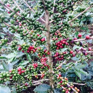 coffee tree with ripe and unripe cherries