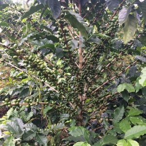 coffee tree with unripe cherries