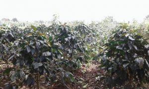 coffee trees at farm