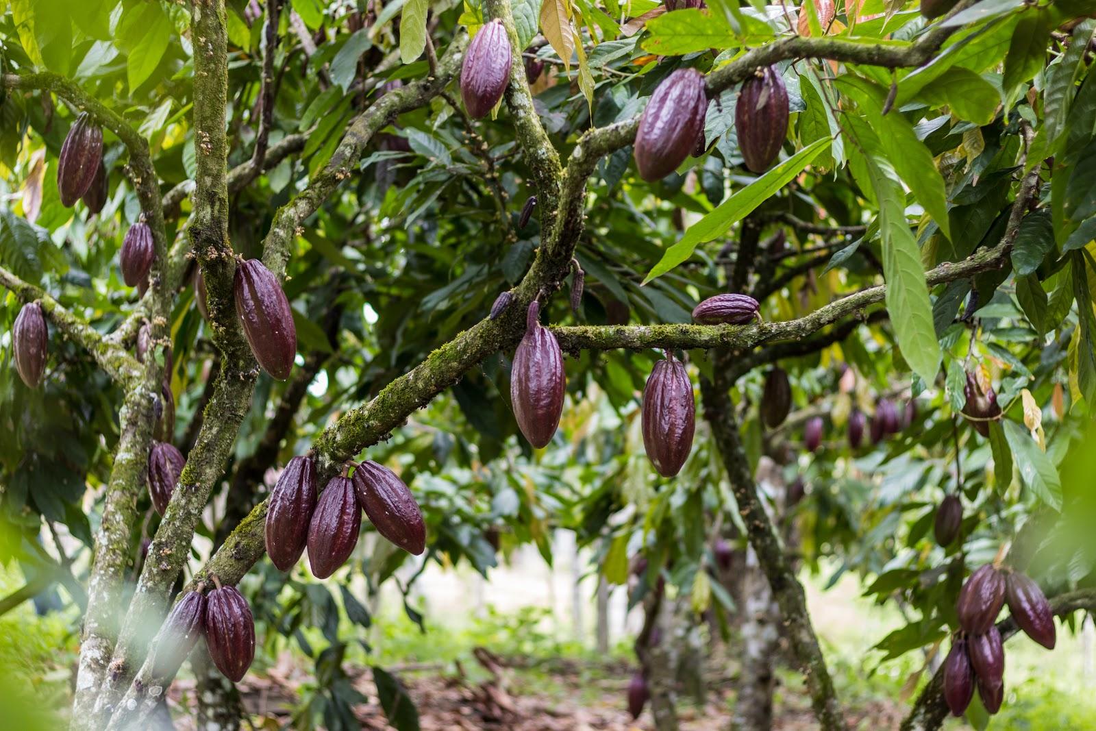 un arbol de cacao con algunos frutos