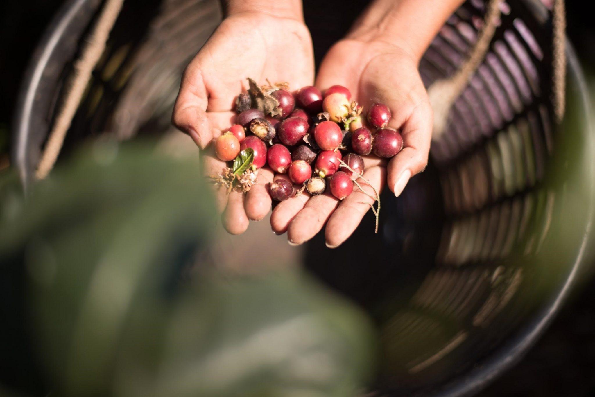 un puñado de cerezas de cafe