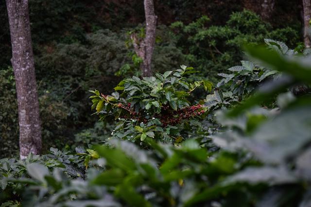 arbol de cafe con cerezas maduras y sin madurar