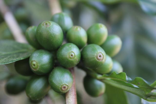 cereza de cafe verde en un cafeto