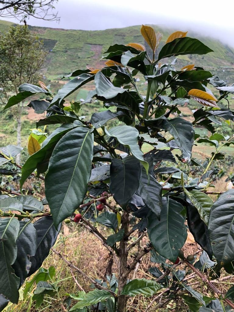 una planta de cafe con pocas cerezas