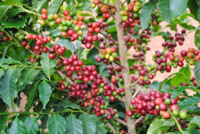 cafeto con cerezas