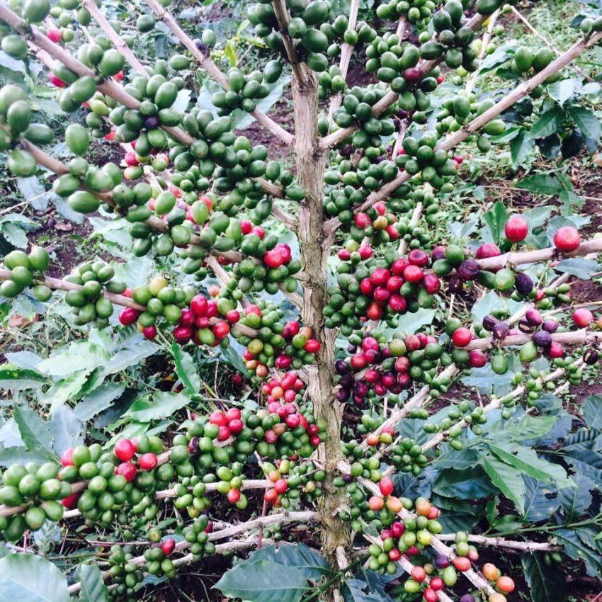 un cafeto con cerezas maduras e inmaduras