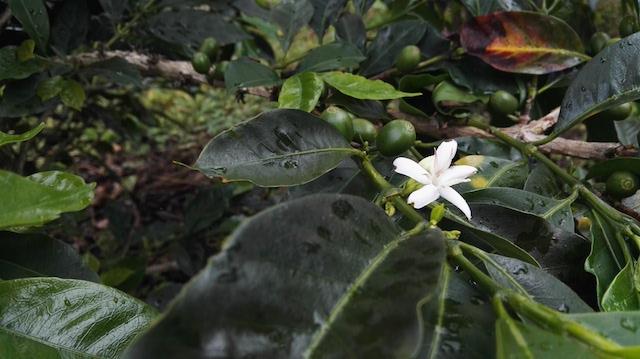 Una flor de cafe
