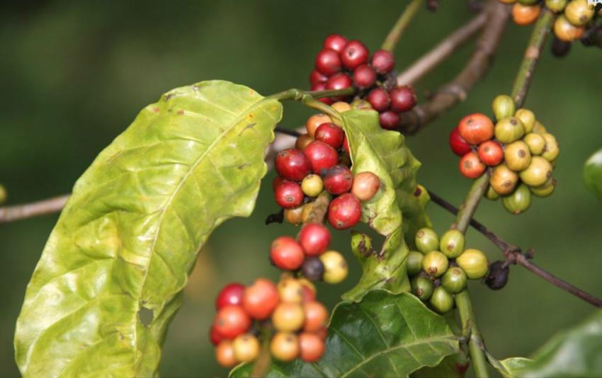 cerezas de cafe maduras y sin madurar
