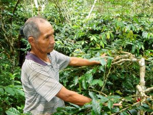 producer inspecting coffee tree