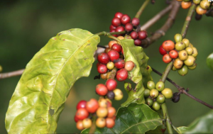 ripe and unripe coffee cherries on tree