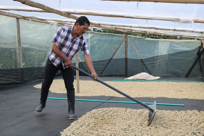productor mueve los granos de cafe para un secado uniforme