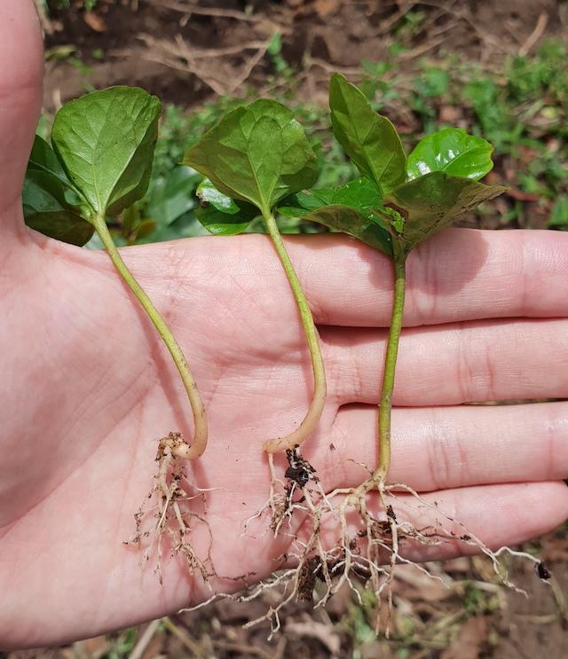 Plantulas de cafe sobre una mano