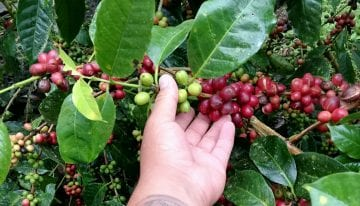 What's It Like to Grow Coffee in The Galápagos Islands?