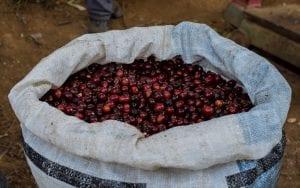 ripe cherries in coffee bag