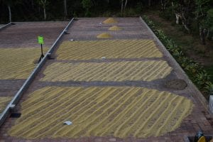 coffee drying in patio