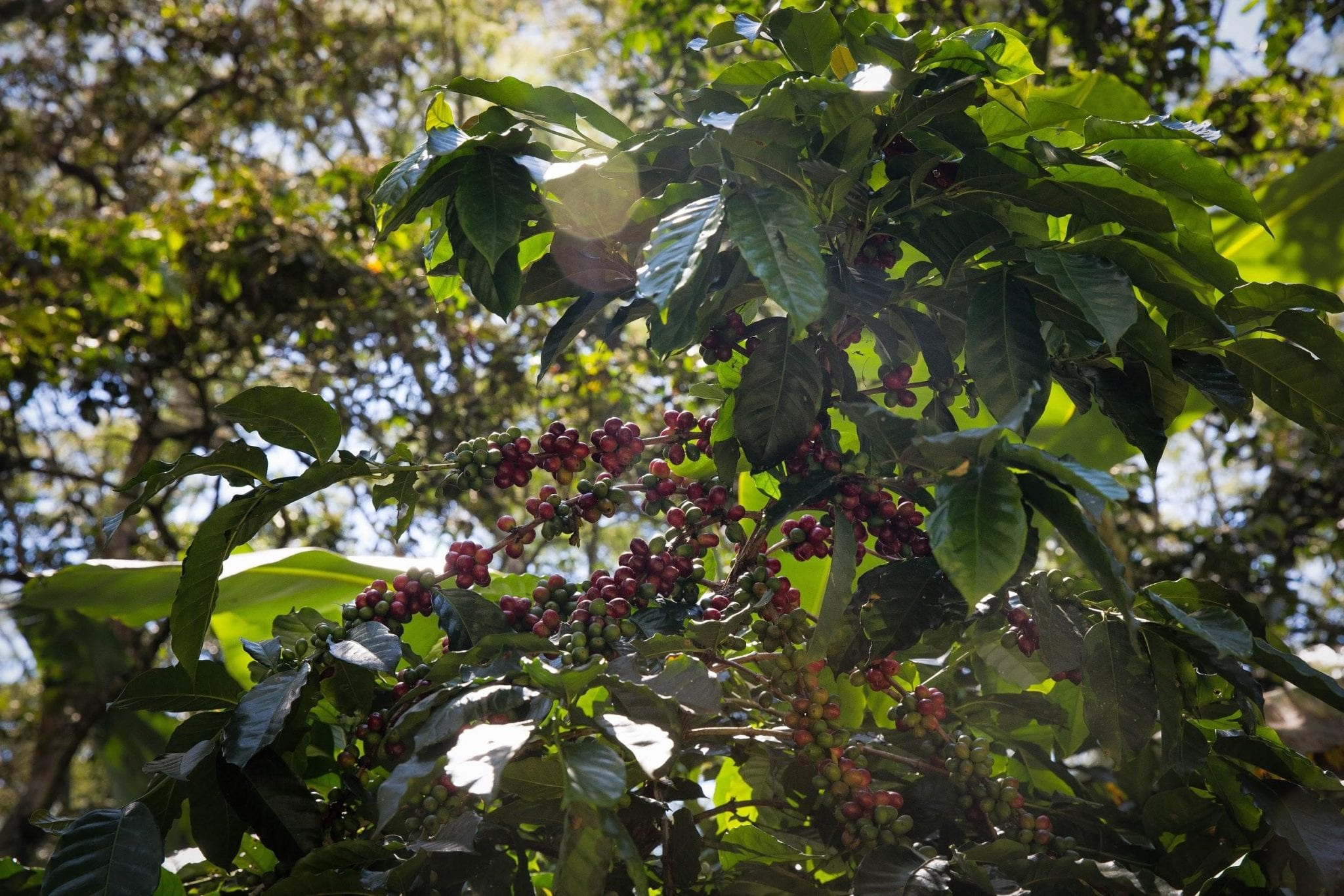 some coffee cherries still in the tree