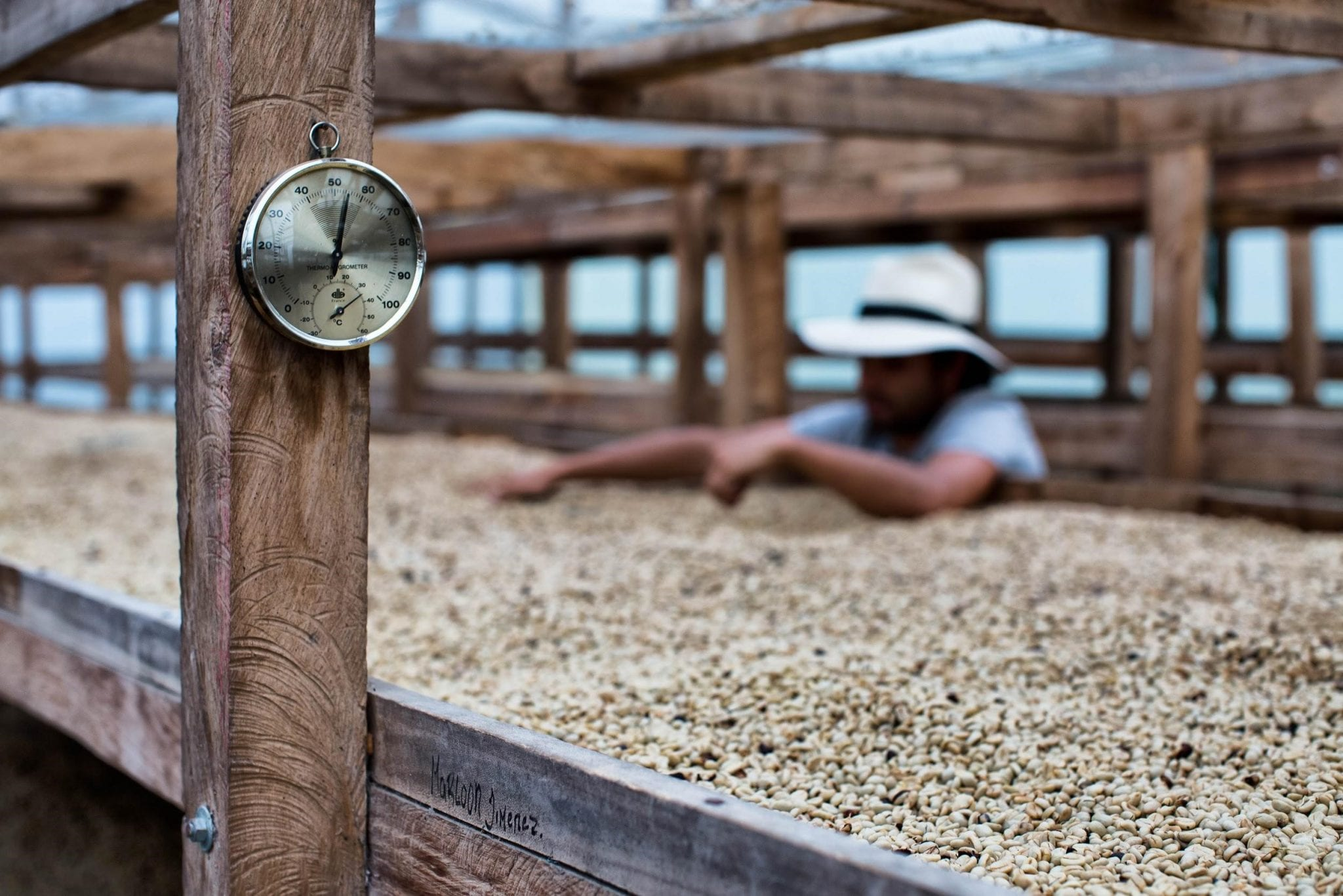 producer inspecting dried coffee in the african beds